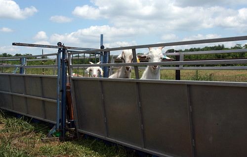 Goats in chute