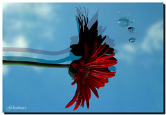 Riflessa nel cielo (G.hostbuster...very bored!!!) Tags: blue red sky flower clouds reflections drops nuvole blu gerbera cielo fiore rosso riflessi ghostbuster gocce bej artgalleryandmuseums artedellafoto gigi49 artistictreasurechest