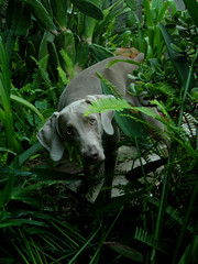 'have you found where the frog is hiding yet? (saikiishiki) Tags: friends portrait plants dog game cute love real evening eyes backyard looking sweet expression innocent adorable ears frog foliage explore hide weimaraner jungle kawaii seek forehead seen uncropped wrinkles 2009 polite sincere questioning omoshiroi weim asking mukha 20f 2352 thelittledoglaughed 52weeksfordogs 52weeksofmukha