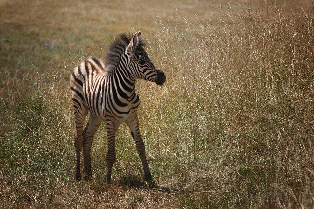 Pretty Baby - Zebra Style