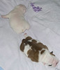 Edwin & Rosa (Julia mc) Tags: red white puppy pups puppies bulldog fawn englishbulldog agnes britishbulldog babydogs