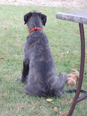 Irish Wolfhound Dempsey pup (jpdoogie) Tags: irish dog puppy wolfhound