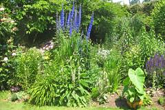 Arlene's Garden (Meighan) Tags: garden delphinium arlene arlenesgarden