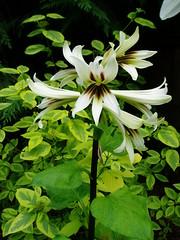 Cardiocrinum giganteum v. yunnanense
