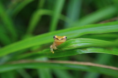 Cute Little Cricket Tree-Frog