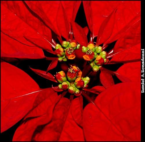 Poinsétia (ou flor do Natal)