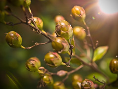 Crept Myrtle Flower buds and light flare (Meagan Hitchner Photography) Tags: light leaves berries flare twigs fotocompetitionbronze creptmyrtle