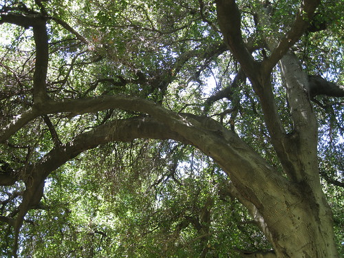 curved coast live oak tree