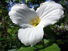 flying (dmixo6) Tags: flowers color macro nature garden trillium spring tulips dugg dmixo6