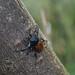 生態 21 黃翅鞘鍬形蟲