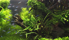 5 ukaps tank 3 (George Farmer) Tags: plants fish water aquarium aquascape tropica aquascaping tgm georgefarmer ukaps interzoo