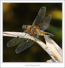Four-Spotted Chaser (Paul_Wheeler) Tags: uk nature closeup insect bravo dragonfly britain wildlife devon british chaser libellula stover gragon fourspotted quadrimaculata