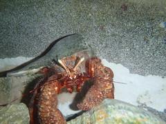 Giant Hermit Crab-1
