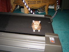 Prudie on Treadmill (bleudreams) Tags: hamsters smallanimals