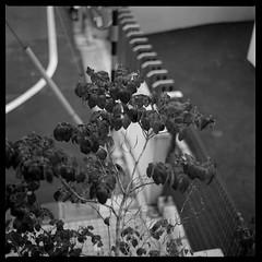Dark Winter (gullevek) Tags: street winter blackandwhite cold tree 6x6 japan geotagged tokyo leaf bokeh 日本 東京 冬 ilford モノクロ iso125 大田区 ilfordfp4125 矢口 epsongtx900 bronicaectl geo:lat=3556231 zenzanonmc80mmf24 geo:lon=139689934