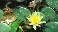 Water lilly (tinica50) Tags: flowers flores visualart waterlilly