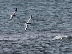 Caspian Terns Flying #3 (Mehdi Kavousian) Tags: bird iran  tern persiangulf  sterna caspiantern sternacaspia   hydroprognecaspia  iranwildlife    nakhilooisland nakhiloo    birdsofiran  mondconservedarea  conservedarea