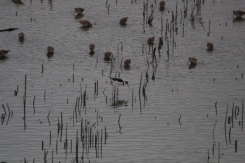 Stilt and Dowitchers