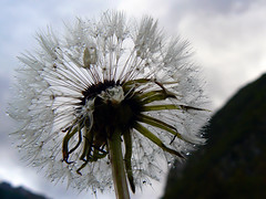 pioggia (perplesso42) Tags: flowers clock dandelion slovenia fiori pioggia montagna smrgsbord soffione dentedileone fiorellini abigfave zabrajda macrolife macroflowerlovers naturethroughthelens wonderfulworldofflowers awesomeblossoms anuniverseofflowers gfeffe
