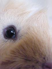 Hairy Horatio. (Hollie-Anne.) Tags: pig guineapig cavies cavy horatio piggie cavie