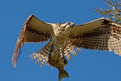 coming-at-you (Robert Strickland) Tags: birds florida osprey birdsofprey birdwatcher fishhawk birds move jan2009 slbfishing slbflying neighborhoodnw09 photocontesttnc09 favoritenw10