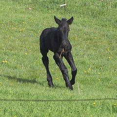 Alex, 2002 (csfgirl) Tags: drafthorse percheron babyhorse foal weanling