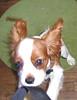 Oh boy! A camera! (PJSherris) Tags: camera pets cute puppy eyes king sweet adorable ears charles olympus spaniel cavalier blenhiem ckcs c4040z