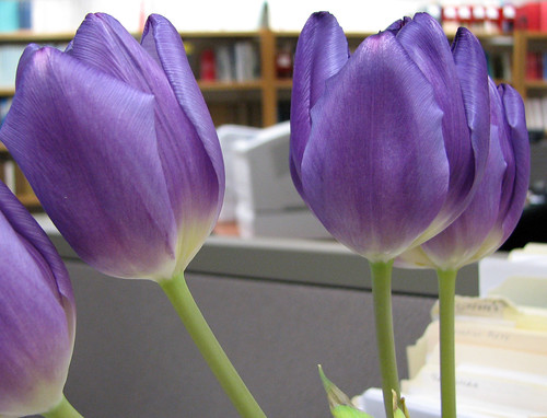 Tulips at Work