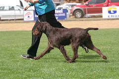 IMG_0541 (Catherine Ryan) Tags: show dog movement pointer wirehaired german vic 2009 bronte gait gwp noorat mtelephant