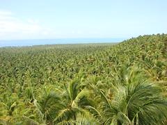 Mar de Coqueiros - Sea of Coconut Trees (fhmolina) Tags: ocean sea brazil praia beach miguel brasil mar coconut farm coco fernando sao barra hidalgo coqueiro macei fazenda molina coqueiros alagoas fhmolina