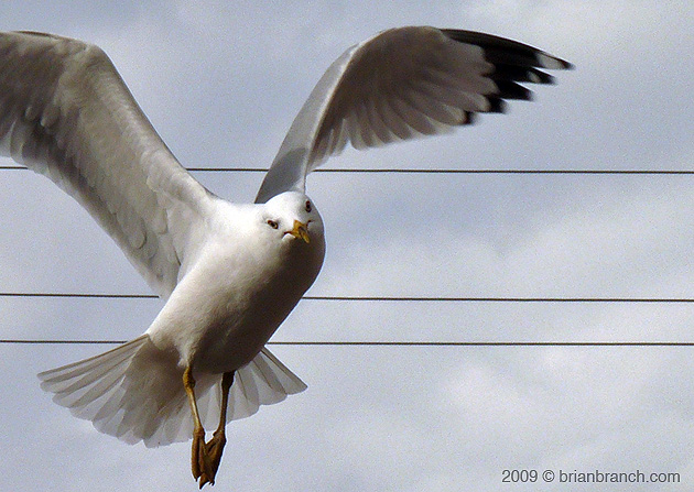 P1000456_seagull