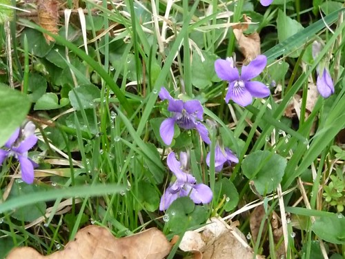 Violets, Fanshawegate Lane