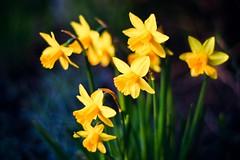 Daffodil Light (Kjers..) Tags: easter evening canonef50mmf18 narcissus goldenlight canoneos450d itsodd hbwe asthelightisreturning imfindingmyselfmoreinspired