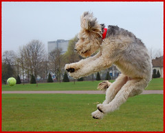 Alfie (dm.photo) Tags: dog playing ball fun jumping glasgow labradoodle alfie glasgowgreen flickraward
