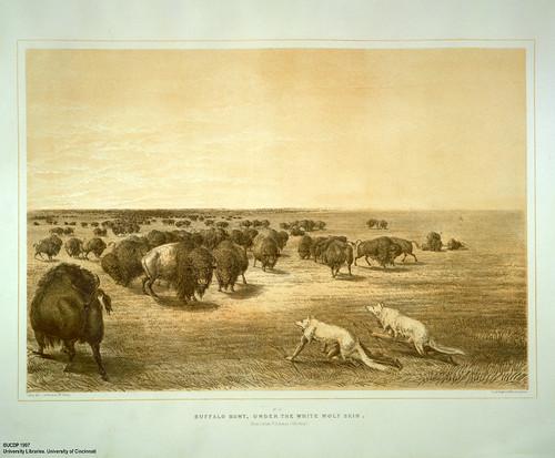 003-Caza de bufalos disfrazos con piel de lobo blanco-George Catlin 1875-1877