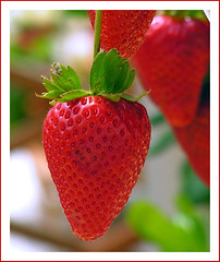 ~ Wednesday Strawberry Bokeh ~ (ANGELA.Clik.Flickr) Tags: macro nature festival fruit spring strawberry sweet strawberryfestival mgarr colorphotoaward