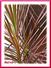 Dracaena marginata 'Tricolor' (Rainbow Tree, Variegated Madagascar Dragon-Tree) in our garden, April 7 2009