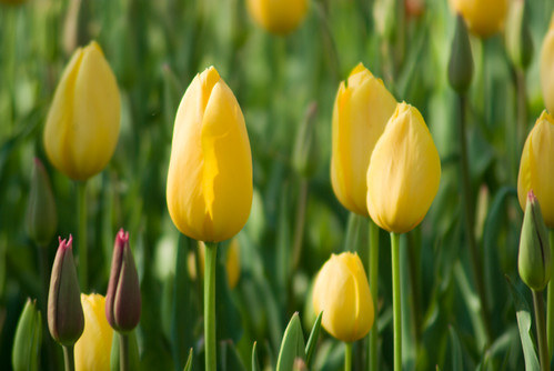 yellow tulips, Istanbul Tulip Festival 2009, Istanbul Lale festivali 2009, İstanbul, Pentax K10d