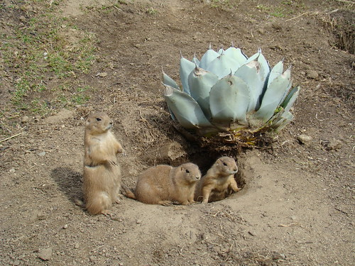 Black-tailed Prairie Dogs at the Los Angeles Zoo