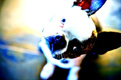Roxy Roo! (victoriaabeling) Tags: blue dog animals austin bostonterrier terrier andywarhol 2008 doggie abeling bbpclient bbphoto photowow girlpup