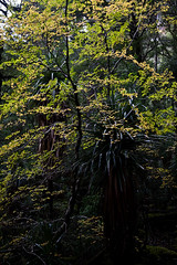 _MG_4594 (andy.townsend) Tags: fagus lakestclair labrynth