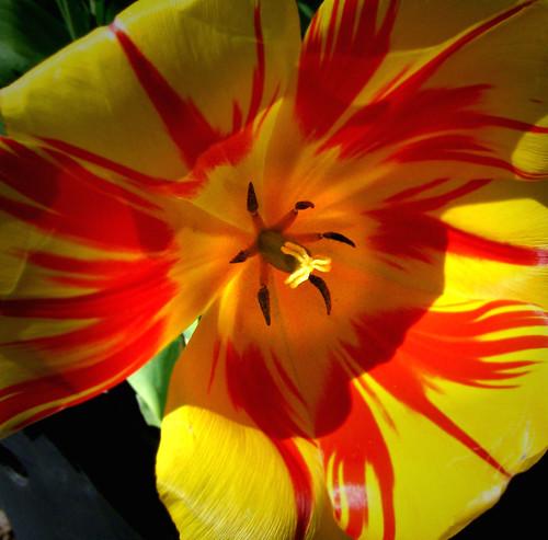 Tulip at Eglinton