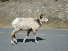 Sheep (nettie1) Tags: mountains banff banffnationalpark