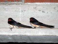 Orenetes (Bellwizard) Tags: swallow hirondelle hirundorustica golondrina rondine oreneta
