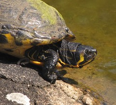 Turtle, Abkhazi Gardens