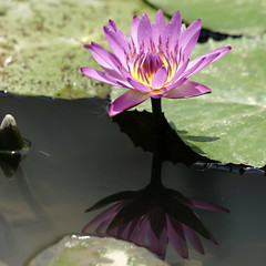 "睡蓮 Water lily (ddsnet) Tags: plant flower water waterlily lily sony hsinchu taiwan aquatic 花 台灣 aquaticplants 900 植物 新竹縣 新埔 α 水生植物 睡蓮 花卉 sinpu hsinpu 子午蓮 lily"" ""water ヒツジグサ quotwater tetragona ""water 新埔鎮 瑞蓮 未草 lilyquot α900 lily"" plantsquot 枋寮蓮園 nymphaeatetragona 水芹花 水洋花 小蓮花 ""nymphaea plants"" nymphaeatetragon quotaquatic quotnymphaea tetragonaquot ""aquatic ""nymphaea tetragona"" plantsnymphaea tetragona"""