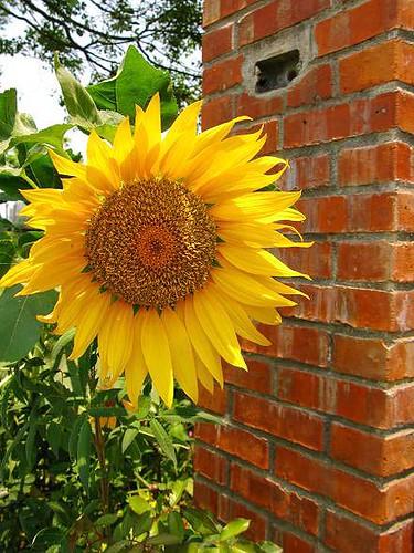 sunflower開了