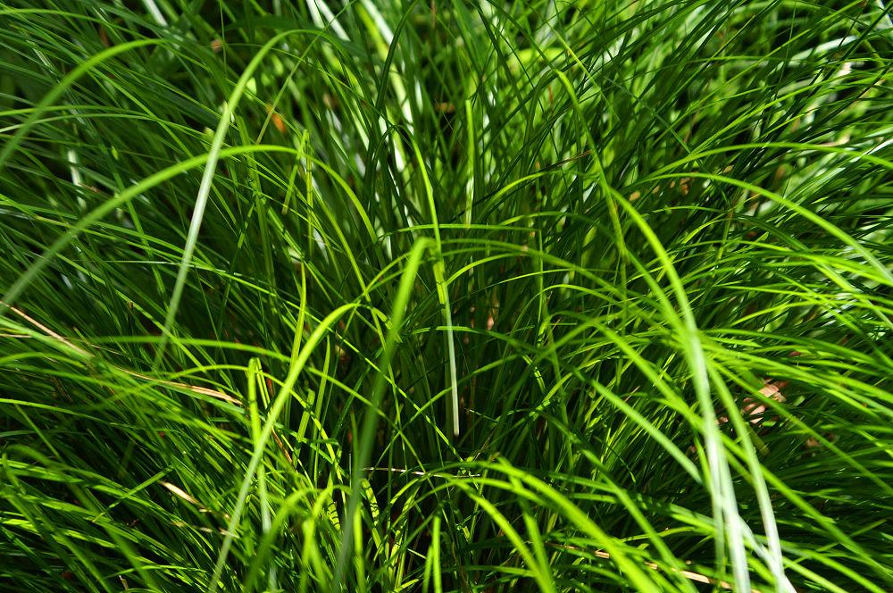 南湖大山day5-70 細軟草葉