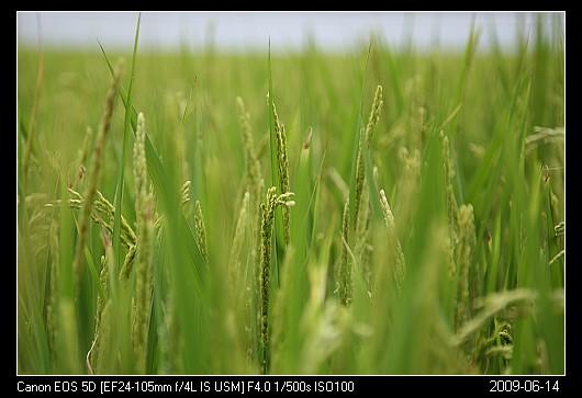 20090614F1稻子的美麗花朵