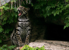 Ocelot (MickiP65) Tags: california wild usa cats nature animal animals cat mammal zoo us losangeles wildlife yawn creation socal bigcat northamerica wildcat lazoo creatures creature mammals 2009 bigcats ocelot animalia mammalia allrightsreserved losangeleszoo carnivore zoos yawning carnivores wildcats yawns copyrighted carnivora felidae leopardus chordata cunaguaro ocelots canoneos30d leoparduspardalis michellepearson paintedleopard 061209 jaguarete manigordo mckenneyswildcat lpardalis 06122009 jun122009 img024393